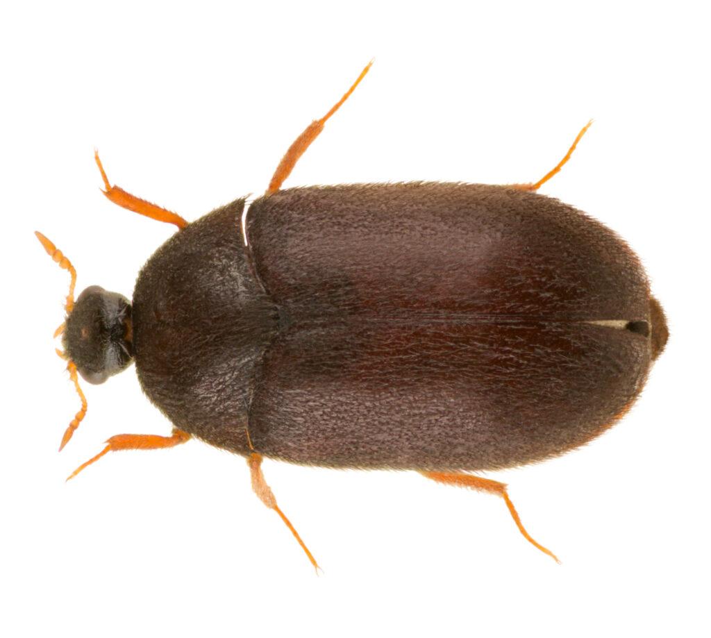 Dermestid Beetles for Hunters