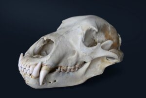 How to Clean a Skull with Dermestid Beetles