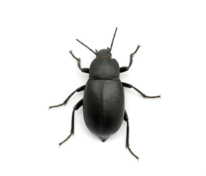 Which Dermestid Beetles Are the Right Ones to Purchase?
