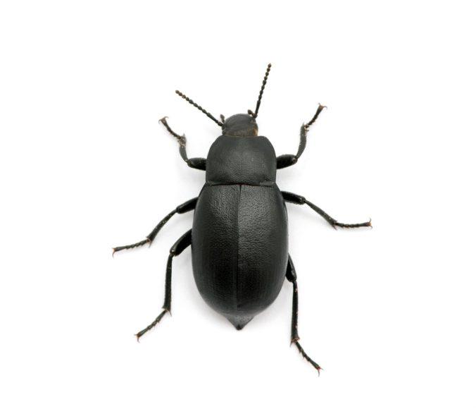 How Do You Care for Dermestid Beetles?