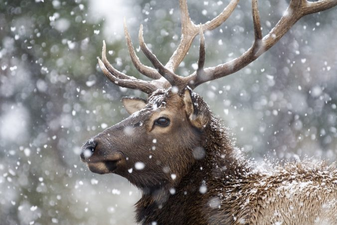 moose-in-the-snow