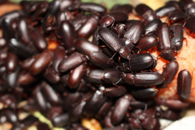 Healthy Dermestid Beetle Colonies