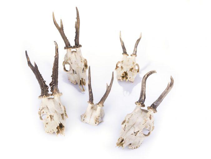 Dermestid Beetles Are the Best Skull Cleaning Method